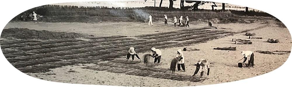浜辺で七島藺を干す様子(昭和44 年頃)